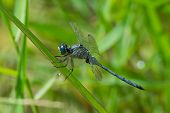 Long Skimmer Dragonfly