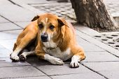 stock photo of seeing eye dog  - A dog on the street somewhere in Bangkok Thailand - JPG