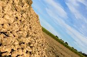 pic of sugar industry  - A Lot Of Fresh Harvested Sugar Beets