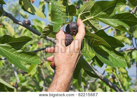 Collecting Figs