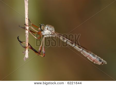 Little Robber Fly