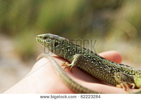 Green Lizard On A Palm