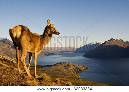 Wild Deer On a Mountain Looking Over Lake and Mountain Range, New Zealand