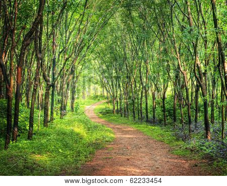 Enchanting Forest Lane in a Rubber Tree Plantation, Kerela, India