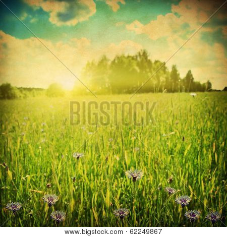 Agricultural field with blue cornflowers at sunset. Grunge style.