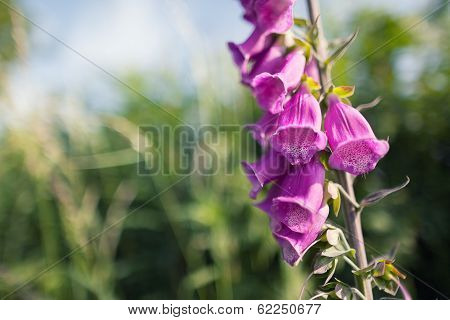 Foxgloves, Pink Wild Flowers ( Digitalis Purpurea )