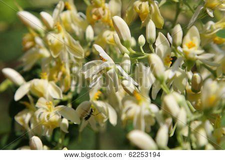 Moringa flowers.