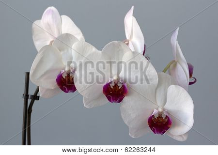 White And Claret Flower Of An Orchid