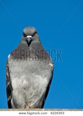 Maltese Pigeon