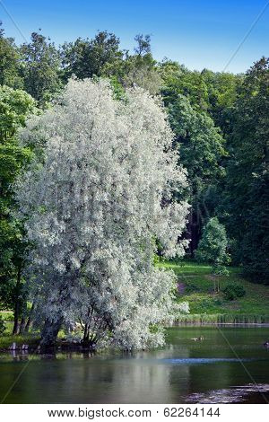 Willow silvery over the lake (Salix alba)