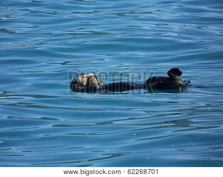 Sea Otter In Kenai Fjords National Park, Alaska