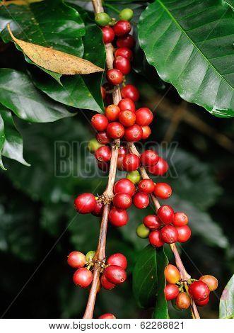 Coffee Beans On Coffee Tree