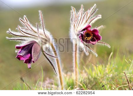 two pasque flowers in spring time