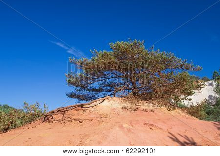 Widely Branched Pine On The Ocher Hill