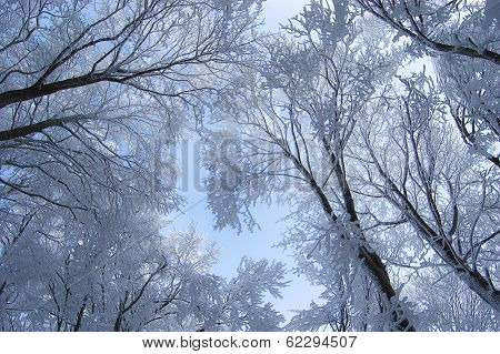 Canopy in forest in winter with frozen trees