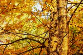 Yellow Birch Foliage