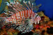 picture of lion-fish  - Beautiful tropical lion fish on the deep sea - JPG