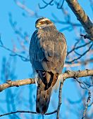 pic of goshawk  - The Goshawk appeared to be warming itself in the early morning sun - JPG