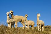 stock photo of lamas  - Herd of Lamas in The Wilderness - JPG