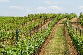 image of tokay wine  - Beautiful landscape in the Tokay grapes  - JPG