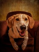 image of foxhound  - Foxhound beagle cross American dog posing in an armchair - JPG