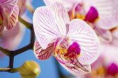 pic of orquidea  - A close up of a branch with blossomed pink striped petals of the beautiful flower orchid Phalaenopsis - JPG