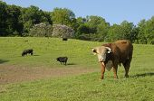 Hereford bull (Bos taurus) in Tennessee USA.