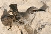 picture of mockingbird  - red - JPG