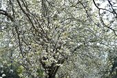 pic of dogwood  - Underneath the flowering dogwood  - JPG