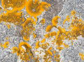 stock photo of lichenes  - Xanthoria parietina lichen  - JPG