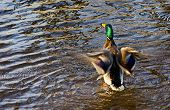stock photo of male mallard  - Male mallard duck on a water  - JPG