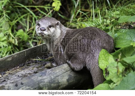 An Otter Looking Directly To Camera.