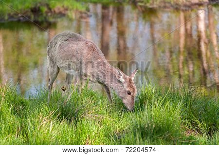 White-tailed Deer (odocoileus Virginianus) Feeds Alongside Pond