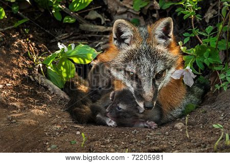 Grey Fox (urocyon Cinereoargenteus) And Two Kits In Den