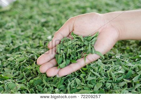 Stevia In Hand