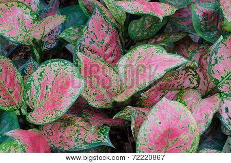 Aglaonema Leaves Background
