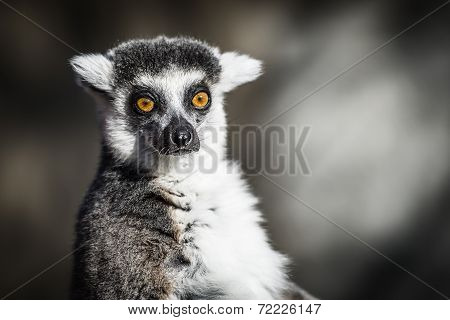 Ring-tailed Lemur of Madagascar