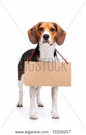 Beagle with tablet