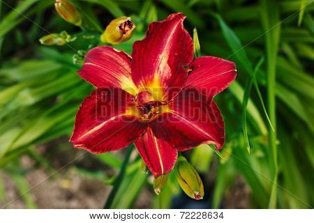 Blooming daylilies in the garden