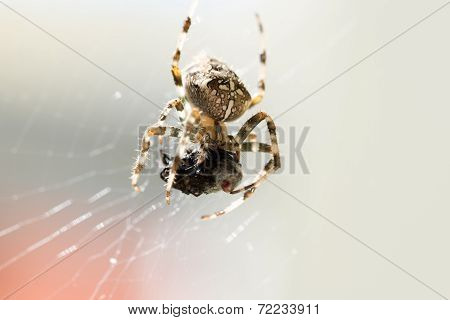 Close Up Of Spider In Web