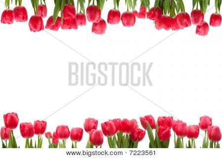 Isolated Tulip Frame
