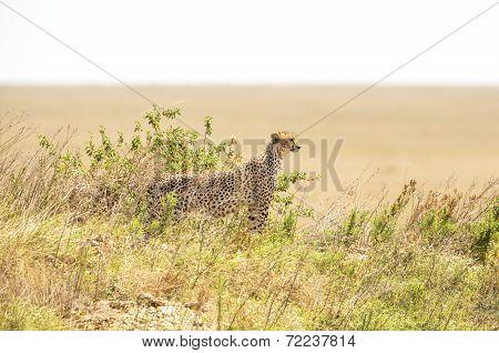 African cheetah on a hill in Serengeti