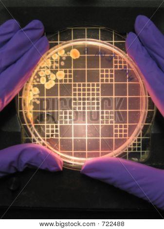 Bacteria In Petri Plate