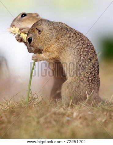 European Ground Squirrel, Lat. Spermophilus Citellus