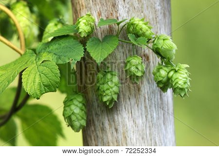 Green hops is used as an ingredient of beer