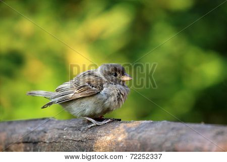 Young sparrow bird