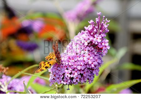 Butterfly on buddleja flower.