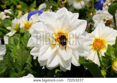 Bumblebee in the centre of a white Dahlia flower.