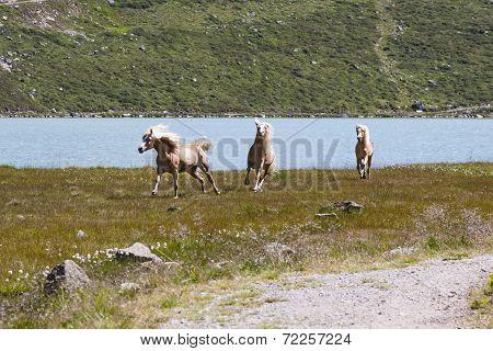Haflinger Horses In Austria