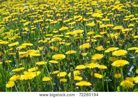 Yellow dandelion field. Summer.